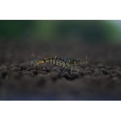 Galaxy Tiger Shrimp