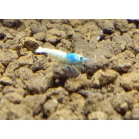 Taiwan Bee Blue Bolt Shrimp