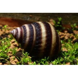 Piano Snail (Taia naticoides)