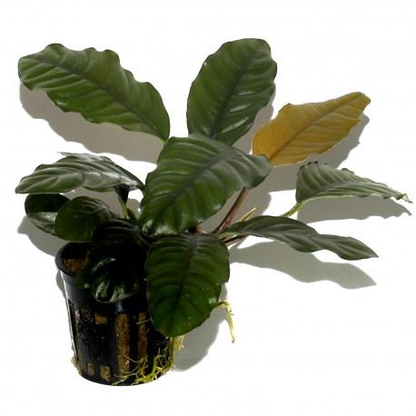 Risultati immagini per anubias barteri coffeefolia