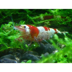 Crystal Red Bee Shrimp A--B low grade