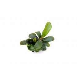 Bucephalandra spec. Brownie Dennerle