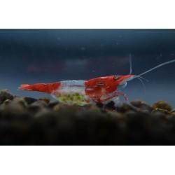 10x Red Rili Shrimp
