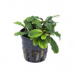 Bucephalandra 'Wavy Green' Tropica