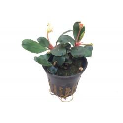 Bucephalandra sp. Red Tropica