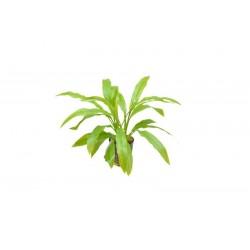Echinodorus amazonicus Aquafleur