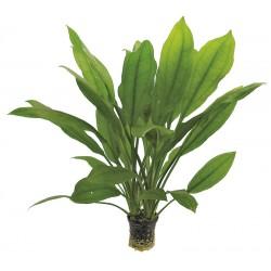 Echinodorus bleheri Aquafleur