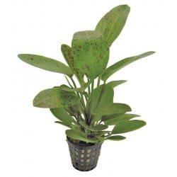 Echinodorus ozelot Green Aquafleur