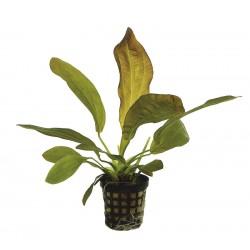 Echinodorus rubra Aquafleur