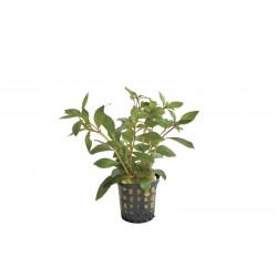 Ludwigia glandulosa Aquafleur
