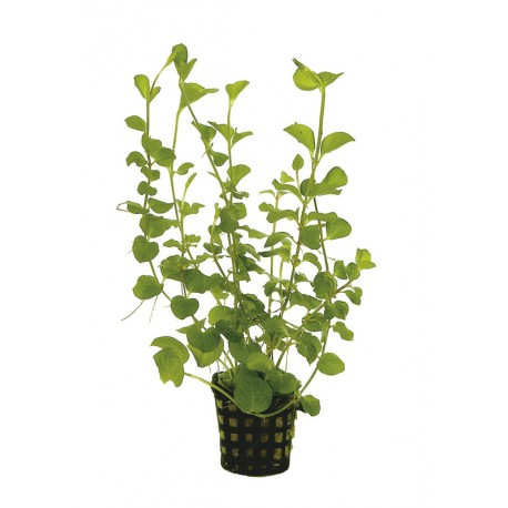 lysimachia nummularia aurea aquafleur aquarium plant. Black Bedroom Furniture Sets. Home Design Ideas