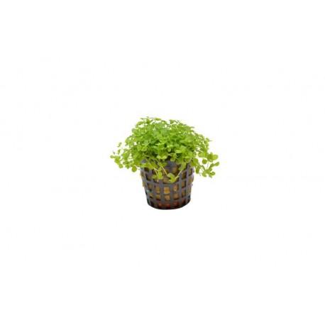 Micranthemum monte carlo Aquafleur