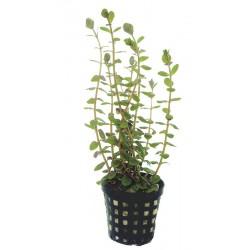 Rotala rotundifolia Aquafleur