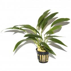 Anubias angustifolia Tropica