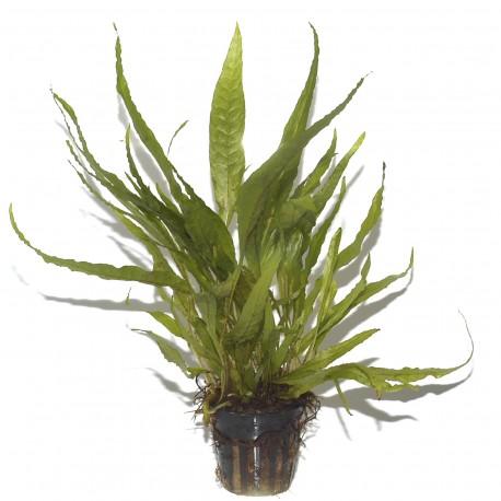 Microsorum pteropus Tropica Java Fern