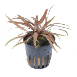 Cryptocoryne albida 'Brown' Tropica