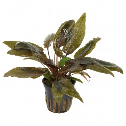 Cryptocoryne wendtii 'Tropica' by Tropica