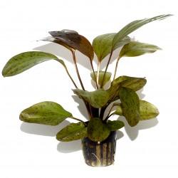 Echinodorus Ozelot Tropica