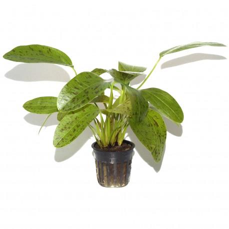 Echinodorus Ozelot Green Tropica