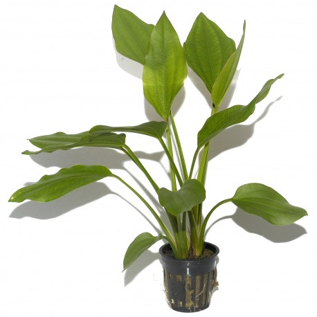 Echinodorus palaefolius Tropica