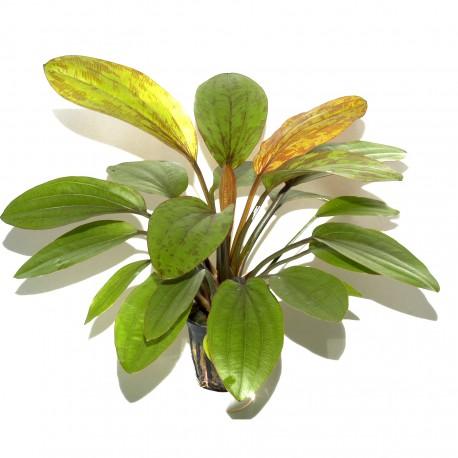 Echinodorus Rosé Tropica