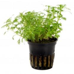 Hottonia palustris Tropica