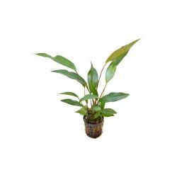 Anubias lanceolata Aquafleur