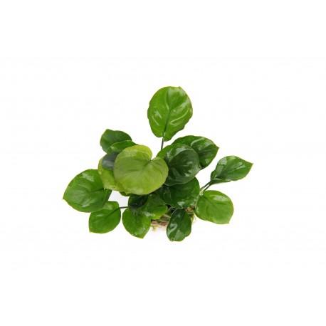 Anubias nana Coin Leaf Aquafleur