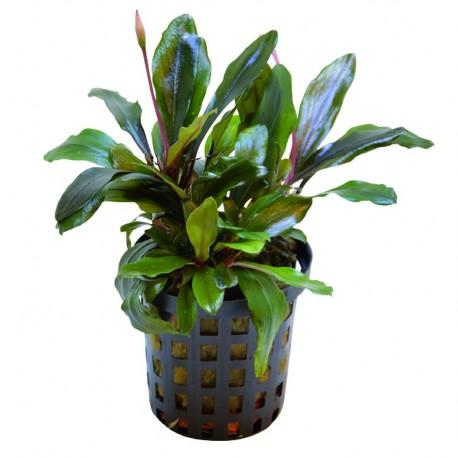 Bucephalandra Theia Green Aquafleur