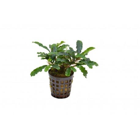 Bucephalandra Green Velvet Aquafleur