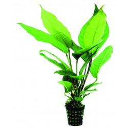 Anubias heterophylla Aquafleur