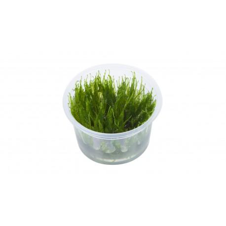Tropica Taxiphyllum Taiwan Moss 1-2-GROW