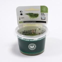 Taxiphyllum barbieri (Java Moss) Dennerle plant-it!