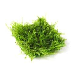 Taxiphyllum barbieri - Java Moss Pad / Mesh