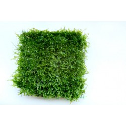 Vesicularia spec. Triangle Moss Pad / Mesh