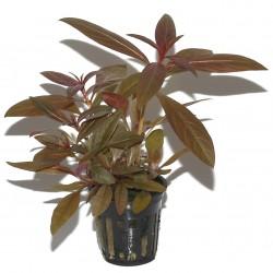 Ludwigia glanulosa Tropica