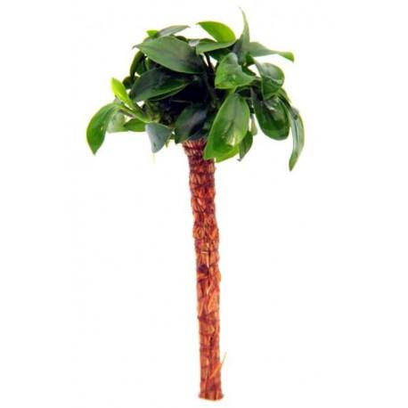 Anubias barteri Nana Bonsai Palm