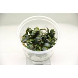Bucephalandra Serimbu Brown Dennerle Plant It