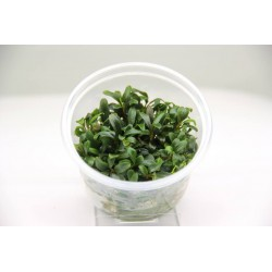 Bucephalandra Mini Needle Leaf Dennerle Plant It