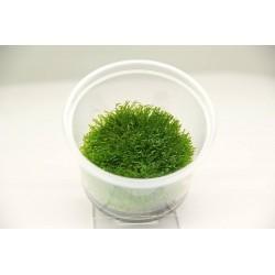 Riccardia chamedryfolia Dennerle Plant It