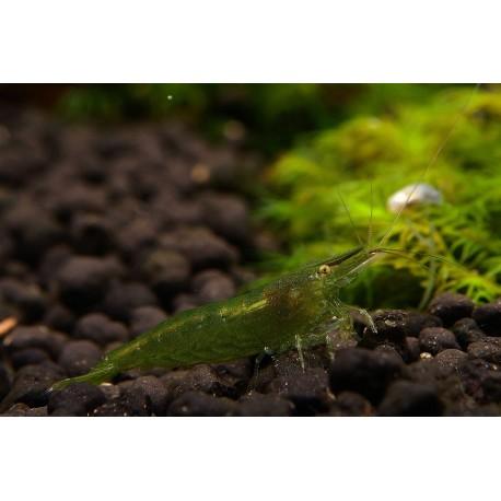 Green Babaulti Shrimp