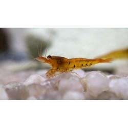 10x Tangerine Tiger Shrimp