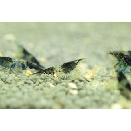 Black Carbon Rili Shrimp