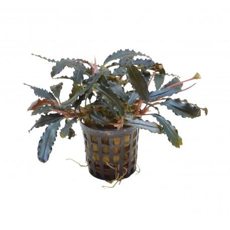 Bucephalandra biblis Aquafleur