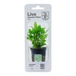 Staurogyne repens Tropica (Single Package)
