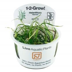 Tropica Helanthium vesuvius 1-2-GROW