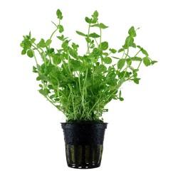 Lindernia rotundifolia Tropica