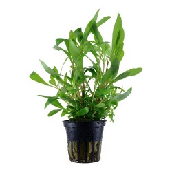 Hygrophila Siamensis 53B Tropica (Single Package)