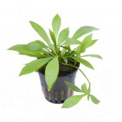 Helanthium 'Quadricostatus' Tropica