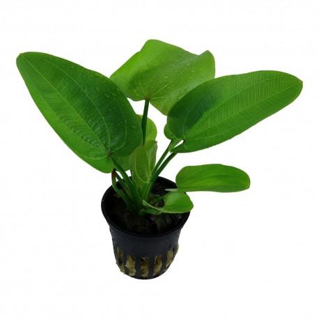Echinodorus Aquartica Tropica
